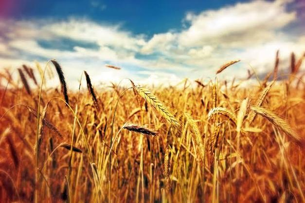 Buğday ve mısır fiyatında 'koronavirüs' düşüşü
