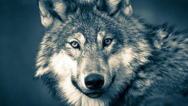 Katliam: 60 saatte 216 gri kurt öldürüldü