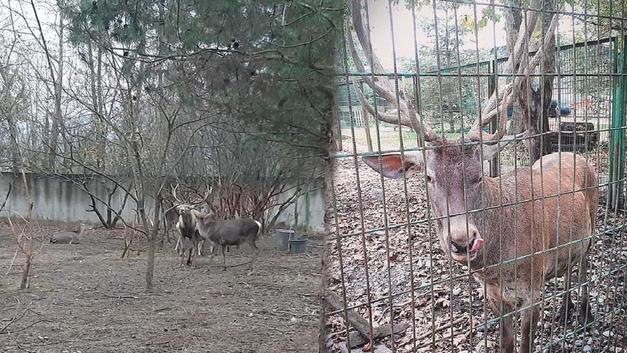 Hayvanat bahçesindeki geyiği kaçırıp, keserek yediler!