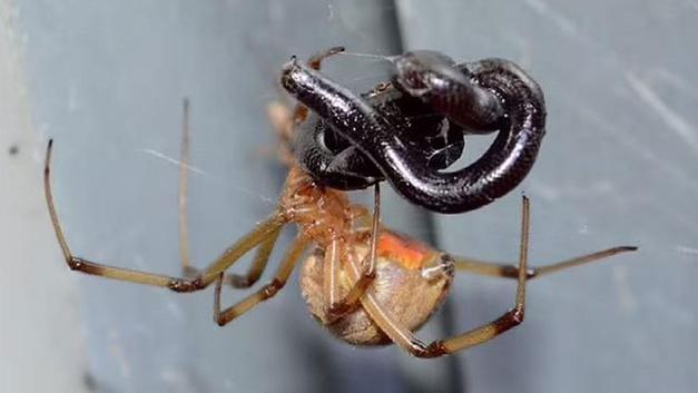 Dul örümceklerin yılanları yiyebildiği anlaşıldı