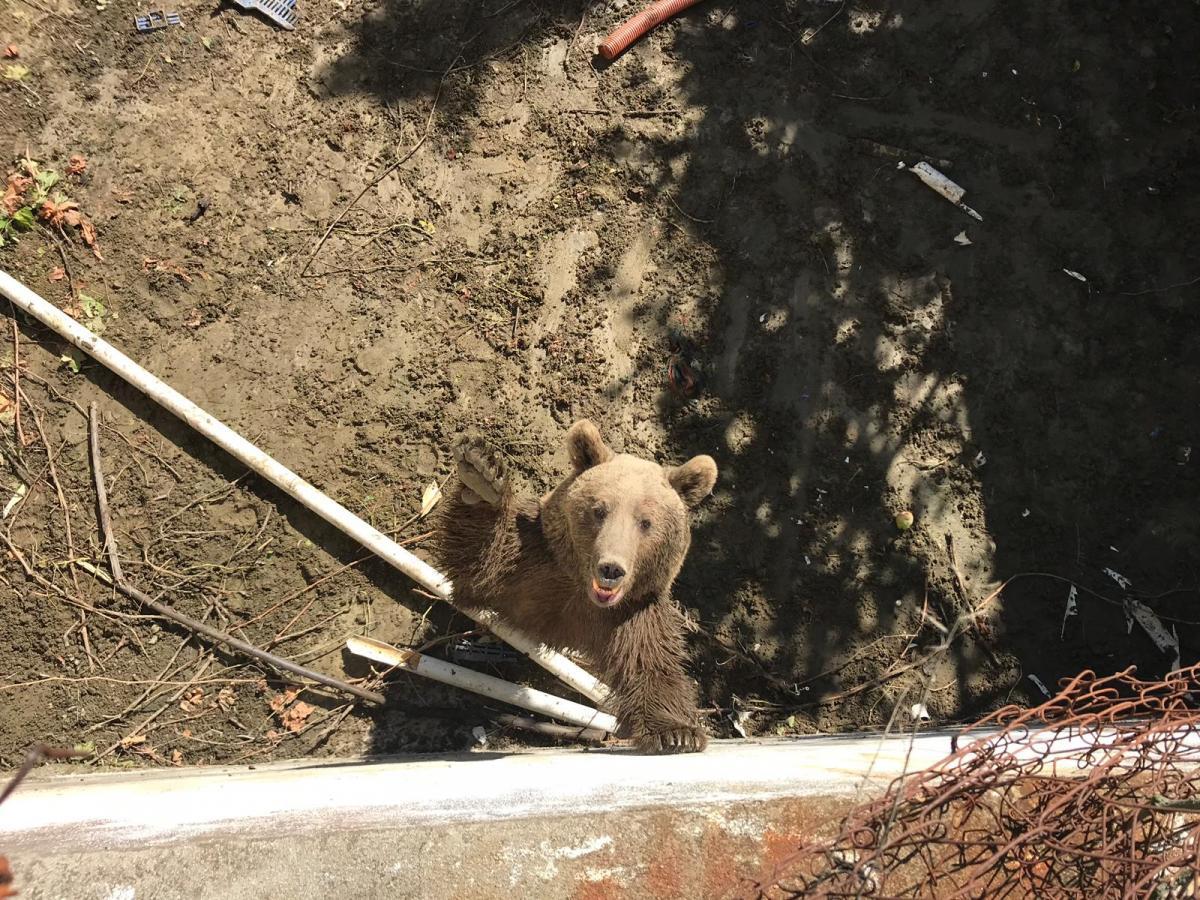 Sulama havuzuna düşen anne ayı ve iki yavrusu kurtarıldı - Resim: 1