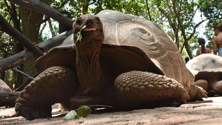 Zanzibar'ın dev kaplumbağalarına turistlerden yoğun ilgi - Resim: 1