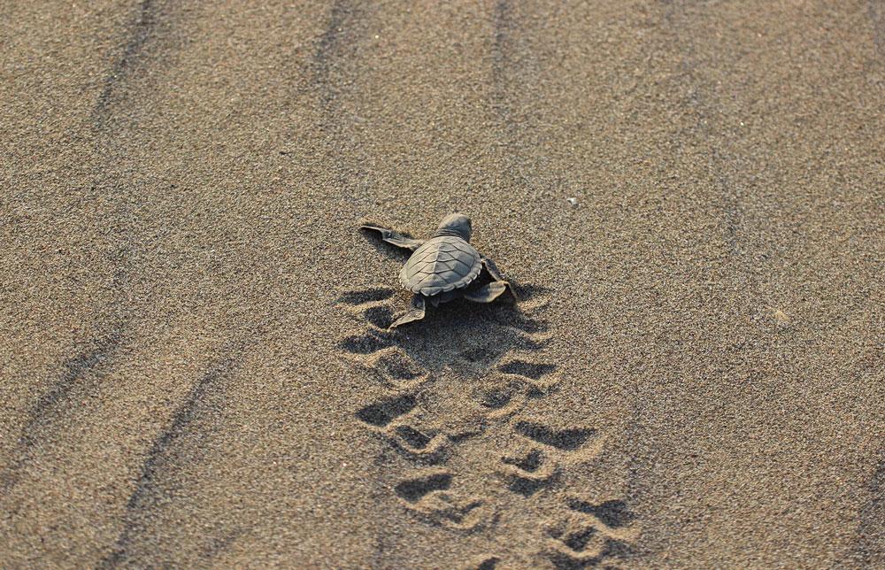 590 bin yavru kaplumbağa denizle kavuştu - Resim: 1