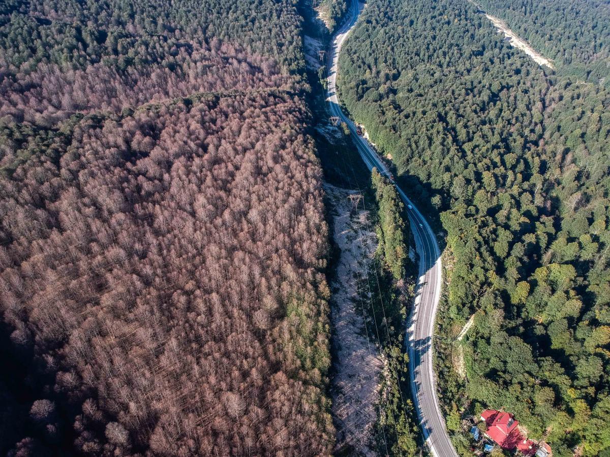 Ormanı istila eden tırtıllar ağaçlarda yaprak bırakmadı - Resim: 3