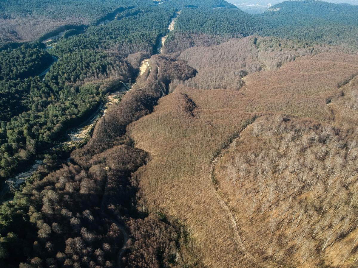 Ormanı istila eden tırtıllar ağaçlarda yaprak bırakmadı - Resim: 4