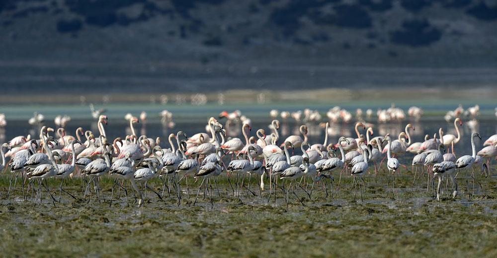 Bir göl daha kurudu... Flamingolar evlerini teker teker kaybediyor! - Resim: 1