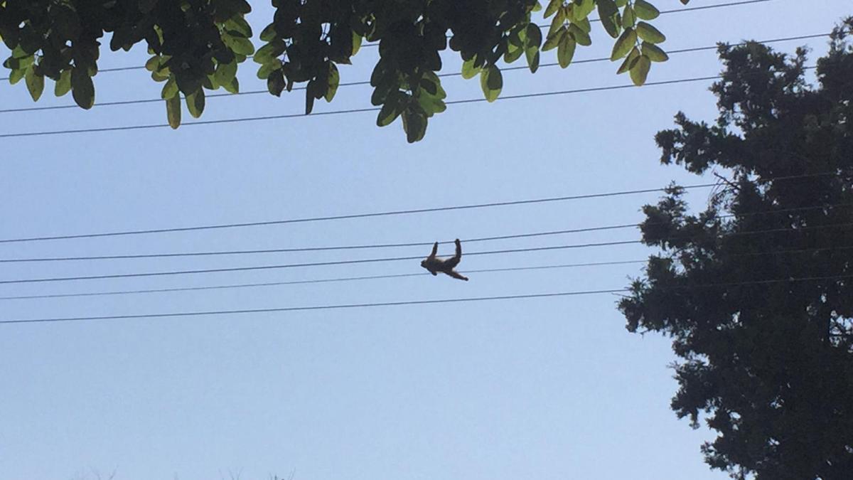 Elektrik akımına kapılan maymun öldü