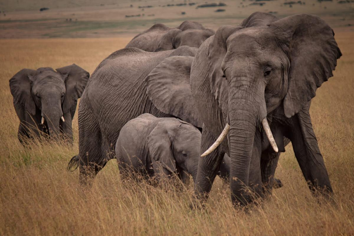Gizemli hastalıktan ölen fillerin sayısı arttı