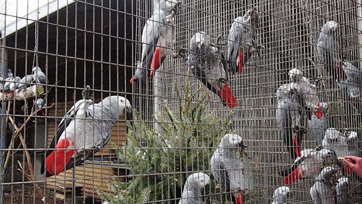 Küfürbaz papağanlara veto!