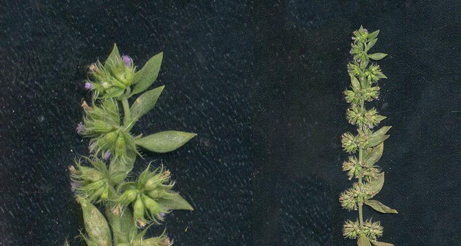 Türkiye'de 150 yıldır görülemeyen bitki türü bulundu