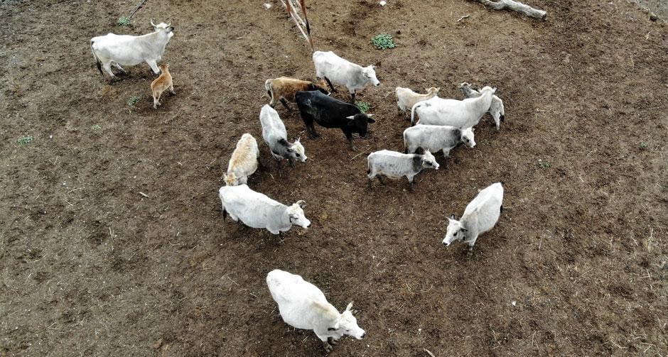 Klon sığır ailesi sürü oldu... Yeni yavru ilgi odağı!