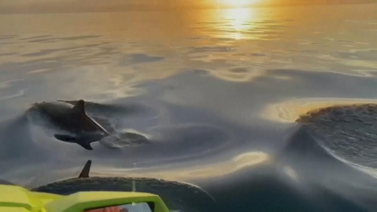 Batan güneşin altında yüzen yunuslar mest etti